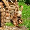 В омском зоопарке козерог ждет свою невесту и занимается спортом