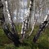 Китай заинтересовался древесиной омской березы, которая отличается прочностью и молочным цветом