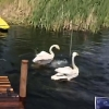 Лебеди из омского парка отправятся зимовать на страусиную ферму