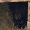 В Большереченском зоопарке у спящей медведицы Маши родились малыши
