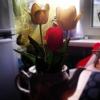 Азовские тюльпаны уже готовы принести радость прекрасным омичкам