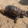 Омич спас тропическую черепаху