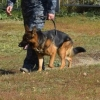 В Омске служебная собака Контра помогла задержать грабителя в сланцах