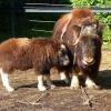 Большереченский зоопарк предложил омичам выбрать имя для овцебыка