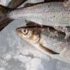 В Омскую область не пустили 3 центнера подозрительной рыбы