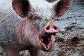 Свиней предупредили от африканской чумы