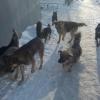 Омичей предупреждают о стае кусачих собак
