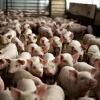 Десять новых свиноводческих комплексов будет построено в Омской области к 2020 году