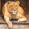 Омская львица Агнесса против того, чтобы у мам забирали детей