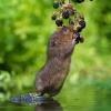 Урожаю на севере Омской области угрожает водяная крыса