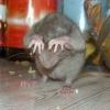 Стаи крыс оккупировали помойку в центре Омска (видео)