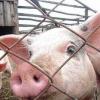 Компенсации за утраченных из-за чумы свиней в Омской области превысили 26 млн рублей