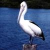 Омск - родина пеликанов