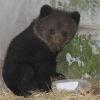 В Омской области в огороде нашли медвежонка
