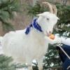 Коза подскажет омичкам, выйдут они замуж или нет