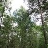 Уголок сибирского леса появится