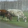 В год животноводства в Омской области появится 4 новых фермы