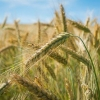 Омская область будет наращивать экспорт продукции сельского хозяйства