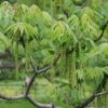 В омском парке появится маньчжурский орех