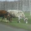 Из бюджета Омской области выделят более 1 миллиарда рублей на развитие животноводства