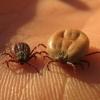 В Омской области от укусов клещей пострадали более 600 детей