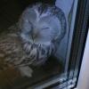 В соцсетях обсуждают сову, прилетевшую на балкон к одному из омичей