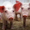 Омичам напомнили о запрете разведения свиней
