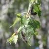Омские леса находятся под угрозой объедания шелкопрядом