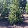 В Омске на Красном Пути появятся хвойные деревья
