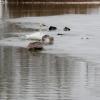Лебеди не хотят улетать из Омской области из-за обилия корма и теплой воды