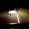 На трассе у Калачинска автолюбители увидели волка и ежа