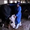 Высоковольтный провод убил 79 коров в Омской области
