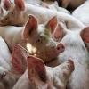 Из-за чумы свиней в Омске забили еще 5 тысяч свиней