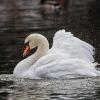 Минприроды просит не кормить одинокого лебедя в Омской области