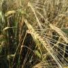 В Омской области убрали только 5% урожая