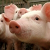 Первых заболевших чумой свиней в Омской области лечили неправильно