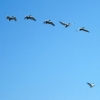 Кудрявые пеликаны готовы вить гнезда в Омской области