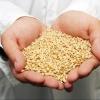 В Омской области найдено 2,4 тысяч тонн опасного зерна
