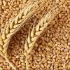 Омская компания решила вернуть девять тонн зерна и не явилась на суд