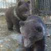 Медведица показала посетителям Большереченского зоопарка своих малышей