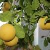 Омсктрансмаш готовится собрать урожай экзотических фруктов