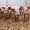 В разгар АЧС омичи устраивают на дачах нелегальные свинофермы
