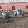 В Омске по Бульварной гуляют гуси