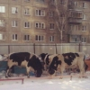 Быки вернулись на улицы Омска в поисках пропитания