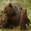 В Омской области живет 1742 медведя