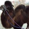 В Омске могут появиться верблюжьи угодья