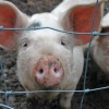 Чуму свиней по Омской области разносили почтальон и ветеринар