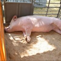 Новое предприятие по переработке свинины открылось в омском регионе