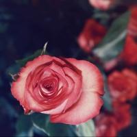 В Омск не пропустили почти 3 тонны эквадорских цветов