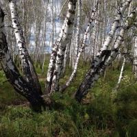 В Омской области на месте преступления задержали «черных лесорубов»
